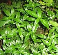 Hempedu bumi (Andrographis paniculata)