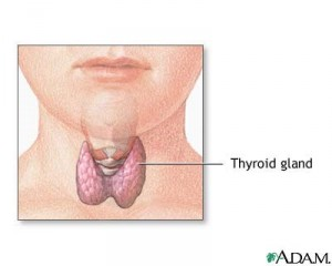 Thyroid gland situated in front of the neck